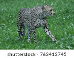 Small photo of Cheetah, Acinonyx jugatus, goes hunting