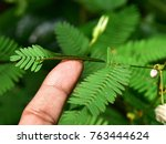 effect of touch on the leaf of... | Shutterstock . vector #763444624