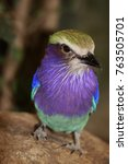 Small photo of Abyssinian roller, Coracias abyssinicus
