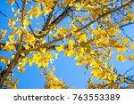 tree of ginkgo biloba with... | Shutterstock . vector #763553389
