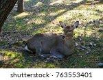 wild deer and famous for... | Shutterstock . vector #763553401