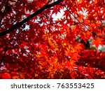 red maple leaves in autumn in... | Shutterstock . vector #763553425