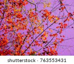 red maple leaves in autumn in... | Shutterstock . vector #763553431