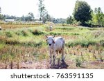 cow in the field is eating... | Shutterstock . vector #763591135