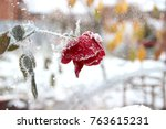 Stock photo red rose in the winter garden winter rose and snow winter garden 763615231