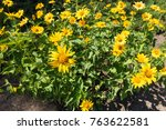 heliopsis helianthoides in... | Shutterstock . vector #763622581