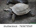 asian giant tortoise  manouria... | Shutterstock . vector #763673569