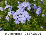beautiful cape leadwort  white... | Shutterstock . vector #763710301
