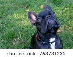 young french bulldog looking up ... | Shutterstock . vector #763731235