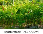 ginger plant foliage | Shutterstock . vector #763773094