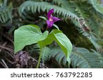 Small photo of A healthy looking purple trillium (Trillium ovatum) at Camassia Park near Portland, Oregon