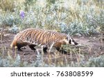 a wild american badger in the... | Shutterstock . vector #763808599