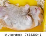 Cute Syrian Hamster Sleeping...