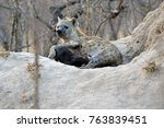 a mother hyena nursing one of... | Shutterstock . vector #763839451