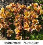 dazzling princess lilies ... | Shutterstock . vector #763914289