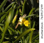 Small photo of Sweet scented tubular blooms of old cottage garden Freesia Iridaceae species in bright yellow bloom in late winter and early spring add fragrance and color to the garden.