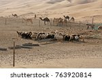 sheep and camels at farm in... | Shutterstock . vector #763920814