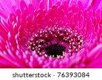 Pink gerbera flower closeup - stock photo