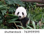 a panda eating its bamboos | Shutterstock . vector #763959595