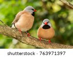 two long tailed finches ... | Shutterstock . vector #763971397