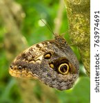 An Owl Butterfly Perched On A...