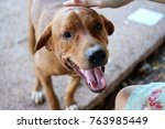 smiling brown dog with short... | Shutterstock . vector #763985449