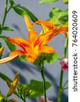 Small photo of Flowers on the flowerbed. The tiger lily (Lilium lancifolium or Lilium tirginum) and the day lily (Hemerocallis spp.) Never fail to brighten the summer garden with their attractive flowers.