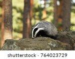 eurasian badger   meles meles   ... | Shutterstock . vector #764023729