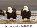 Alaskan Bald Eagles On Log Wit...