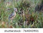 the shoebill  balaeniceps rex ... | Shutterstock . vector #764043901