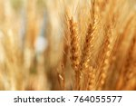 Closeup on golden wheat field...