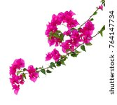 Pink Bougainvilleas Isolated O...
