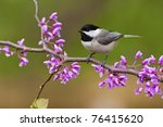 Black Capped Chickadee  Poecile ...