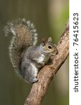 Eastern Gray Squirrel On A Tree ...