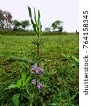 Small photo of Hygrophila Marsh Barbel plant used as herb medicine in Indian Ayurveda to increase haemoglobin at a field with grass and weed