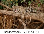 american jaguar female in the... | Shutterstock . vector #764161111