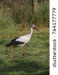white stork in flight. white... | Shutterstock . vector #764177779