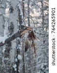 Small photo of Snow-covered bodygrip humane sable trap baited with chicken in Siberian taiga in winter.