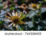 Rudbeckia Flower. Garden Yello...