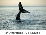 fin of a humpback whale | Shutterstock . vector #76433356