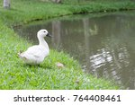 One White Duck Standing Beside...