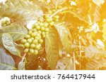 plantation of coffee tree with... | Shutterstock . vector #764417944