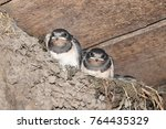 Stock photo swallows swallow in the nest black swallows 764435329