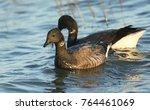 two brent goose  branta... | Shutterstock . vector #764461069