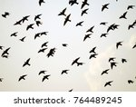 starlings  sturnus vulgaris  ... | Shutterstock . vector #764489245