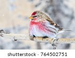 adult male redpoll rests on... | Shutterstock . vector #764502751