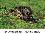 Small photo of American Alligator, Alligator mississipiensis, young in duckweed camouflaged, Welder Wildlife Refuge, Sinton, Texas, USA, June