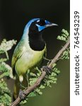 Small photo of Green Jay, Cyanocorax yncas, adult on Catclaw (Acacia greggii), Willacy County, Rio Grande Valley, Texas, USA, June