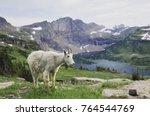 Mountain Goat Oreamnos...