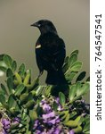 Small photo of Red-winged Blackbird, Agelaius phoeniceus,male on blooming Texas Mountain Laurel (Sophora secundiflora), Lake Corpus Christi, Texas, USA, March